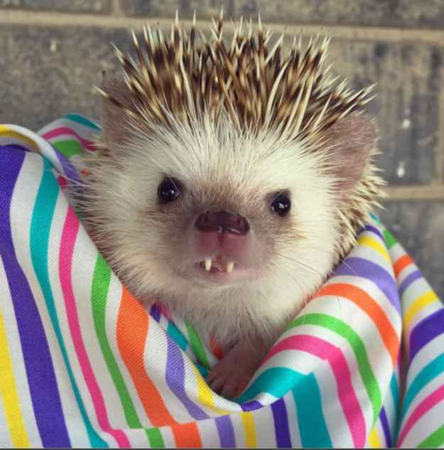 A Tiny Rescue Hedgehog With Fangs Has Become A Famous Instagram Model Funny Animal Pictures Hedgehog Pet Cute Hedgehog
