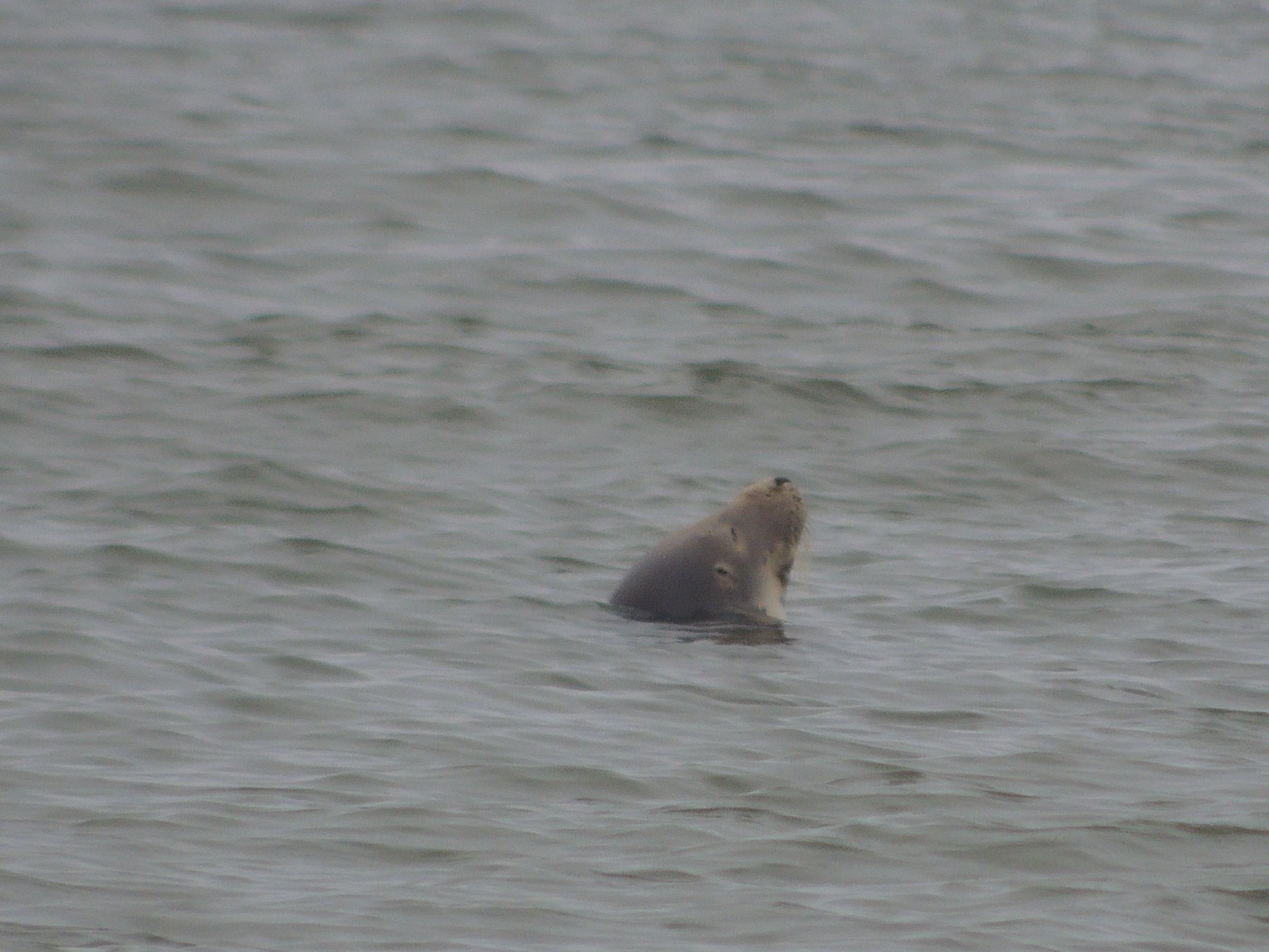 Een grijze zeehond vlak voor de kust van Noordwijk
