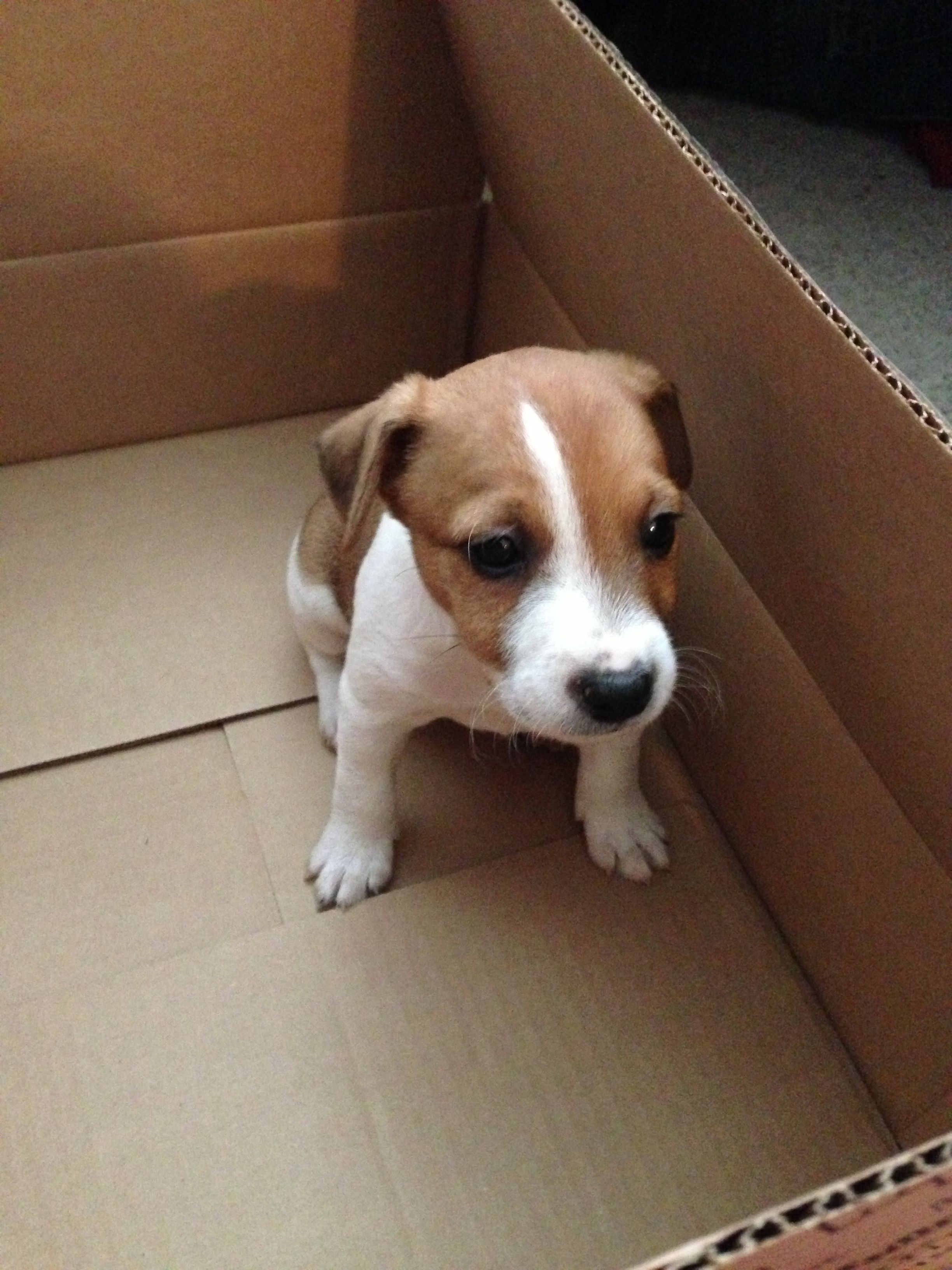 This Is What My Baby Looked Like Jack Russell Terrier Puppies Jack Russell
