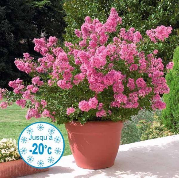 Le lilas des indes 39 hopi 39 rose fonc se d marque par sa longue dur e de floraison environ 3 - Arbre lilas des indes ...