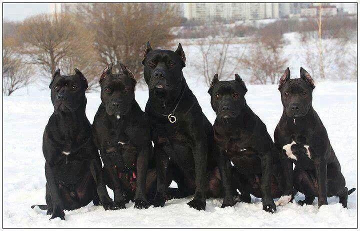 pit bulls website