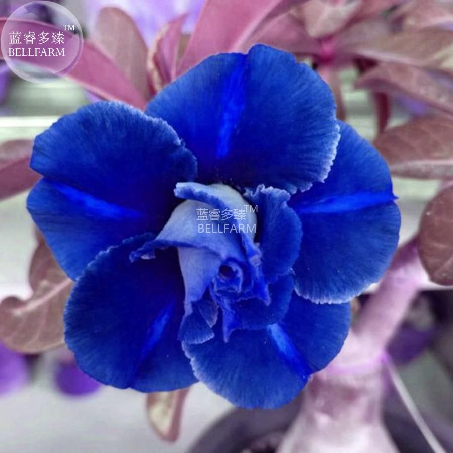 bellfarm adenium dark blue white petals flower seeds 2 seeds 2 layer - Bloom Garden Supply