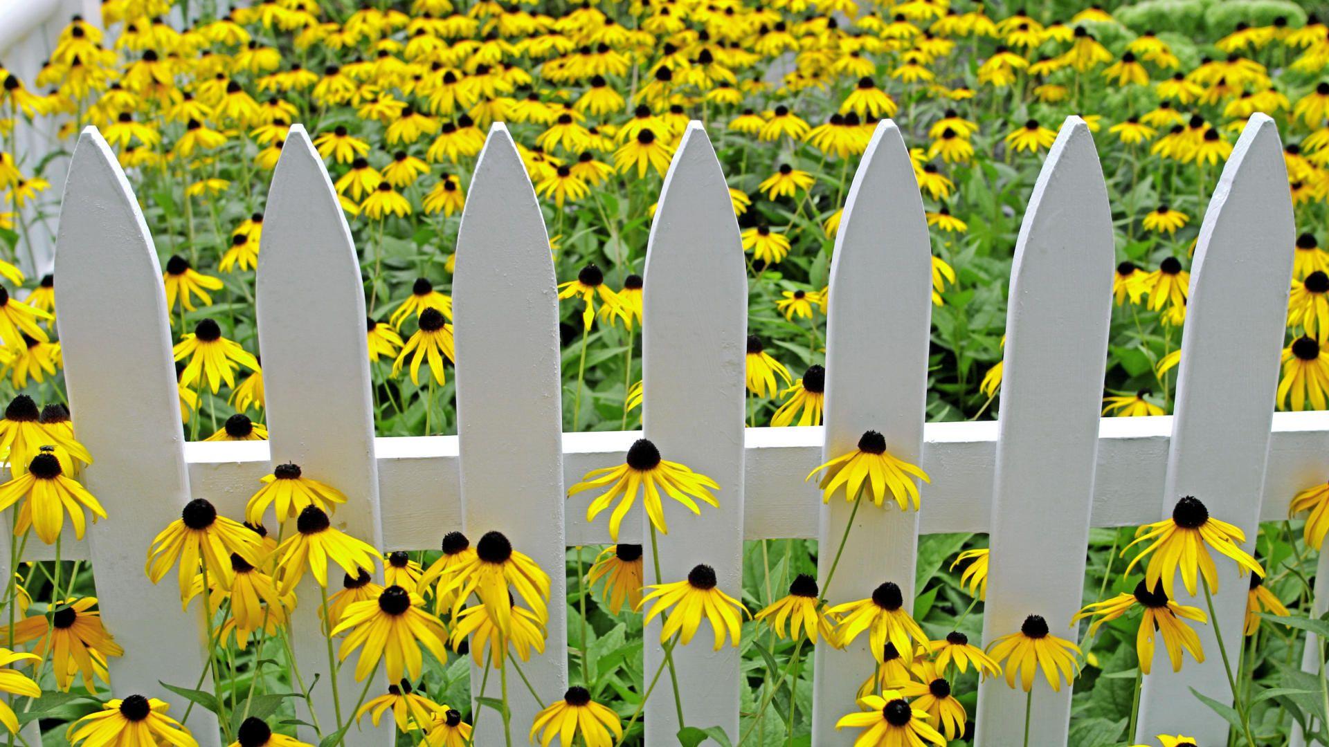 Love Black Eyed Susans White Picket Fences Too
