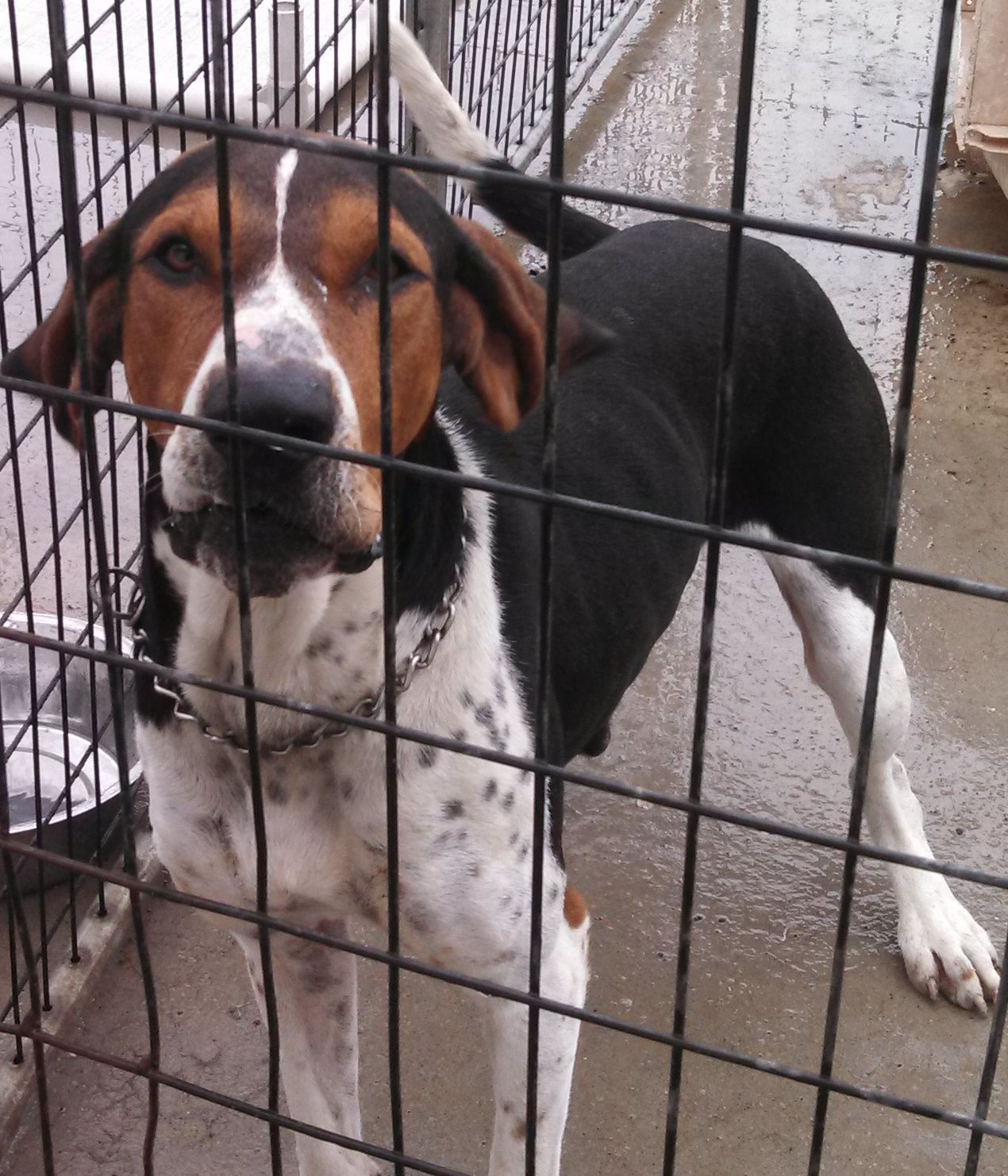 ***TO BE DESTROYED 09/05/14***Porter~ Breed:Treeing Walker Coonhound Age: Adult Gender: Male Size: Large Shelter Information: Carroll County Animal Control 10735 Mill Rd ...