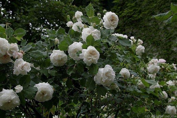 'Boule de Neige ' Rose Photo