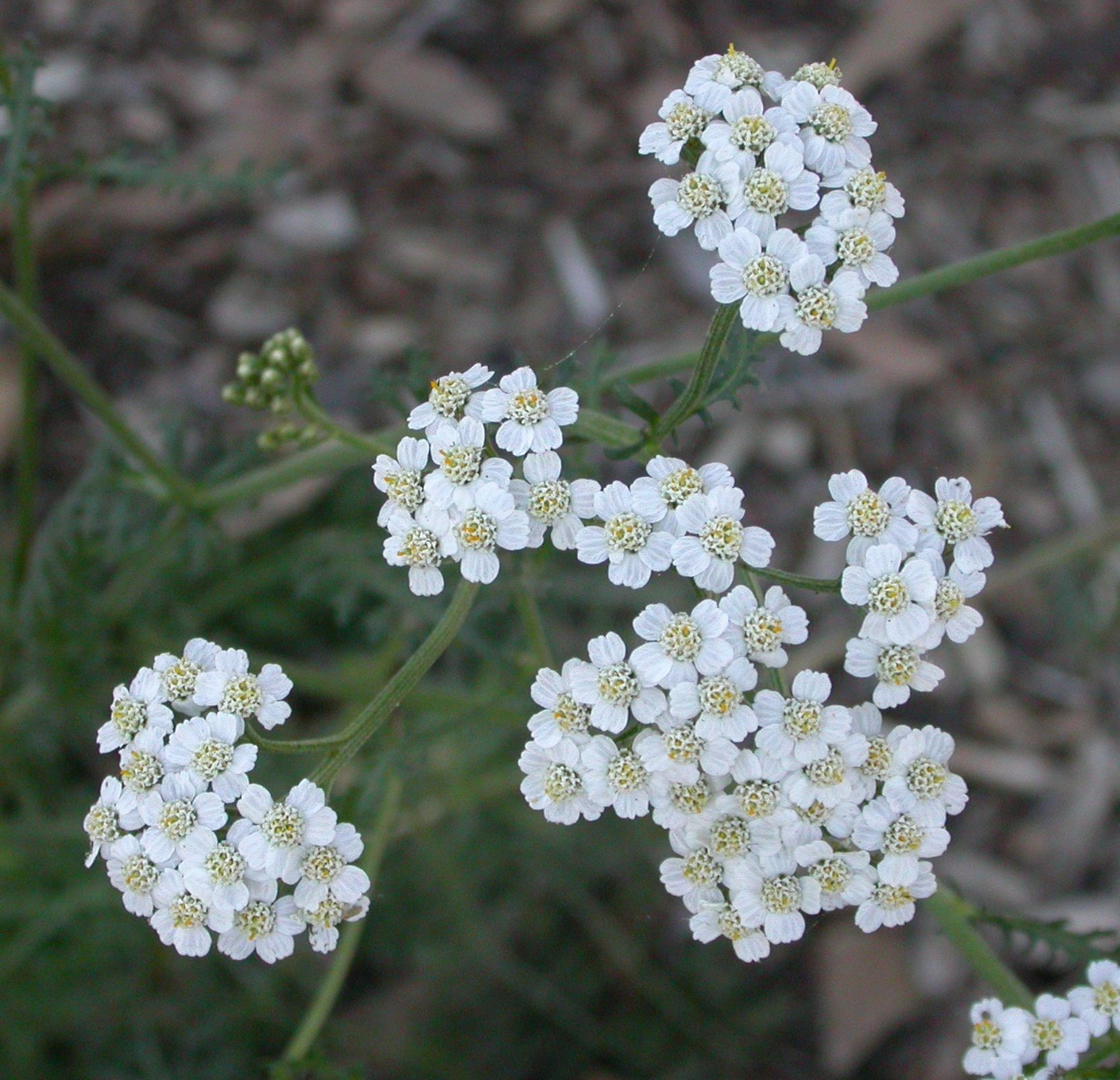 30 AMAZING Yarrow Essential Oil Uses and Benefits That