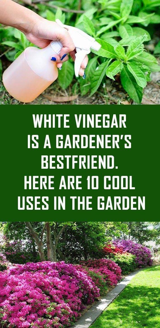 Weißer Essig ist der beste Freund eines Gärtners. Hier sind 10 coole Anwendungen im Garten #naturalcures