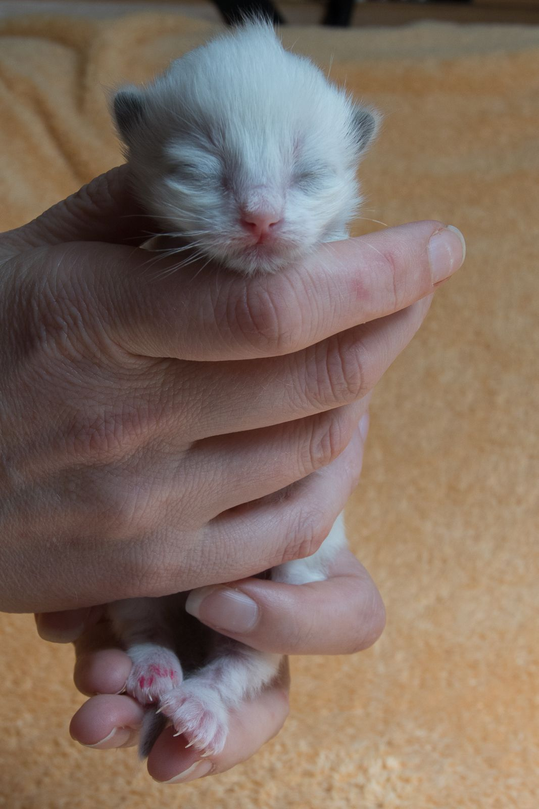 2015 Lady Sif A Zwollywood Cat. 1 Week old. Ragdoll