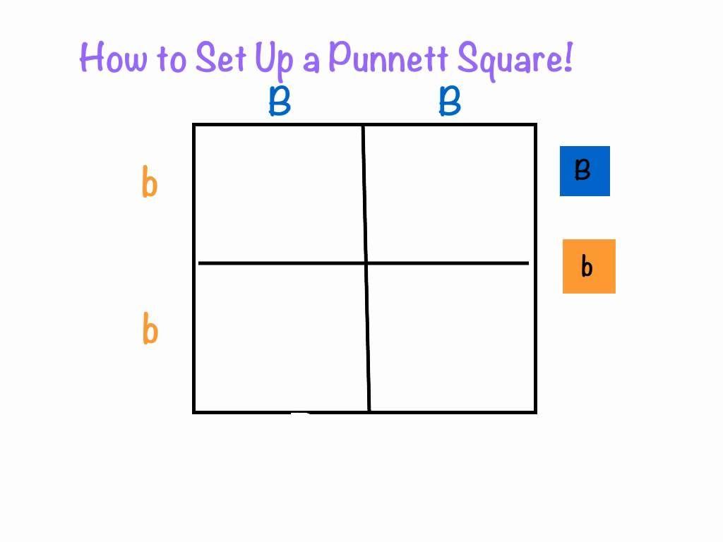 Punnett Squares Explain Everything