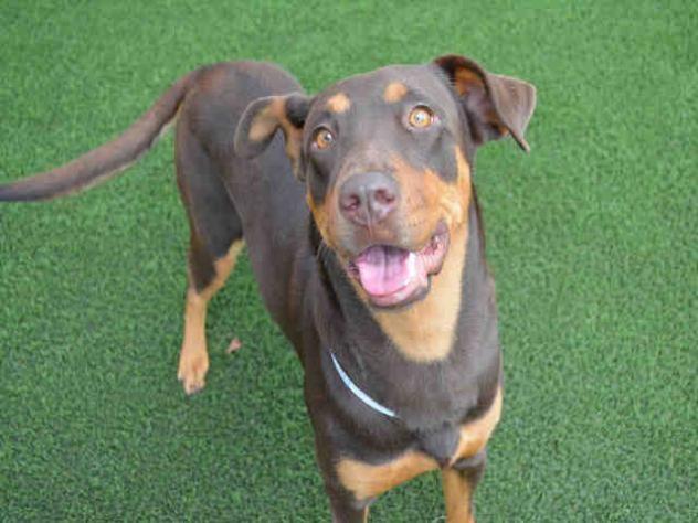 Adopt Mason On Doberman Pinscher Doberman Doberman Dogs