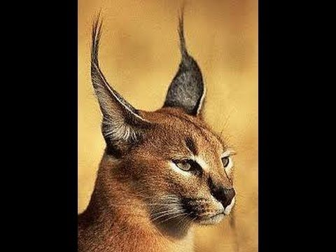 Hybrid Cats Caracat Chausie And Controversy Caracal Gatos