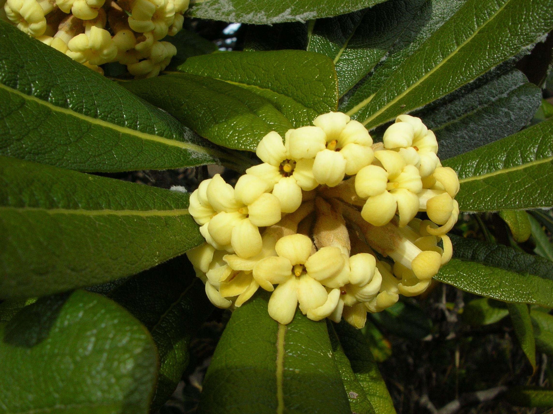 Pittosporum confertiflorum hoawa hawaiian garden pinterest pittosporum confertiflorum hoawa hawaii flowershawaiian izmirmasajfo Images