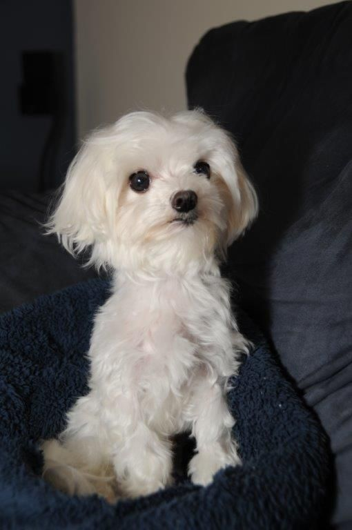 Adopt Buttons On Maltese Dogs Maltese Dogs