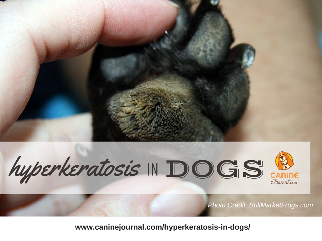 Hyperkeratosis In Dogs Does Your Dog Have Hairy Feet Caninejournal Com Dog Treatment Dog Paw Pads Hairy Dog