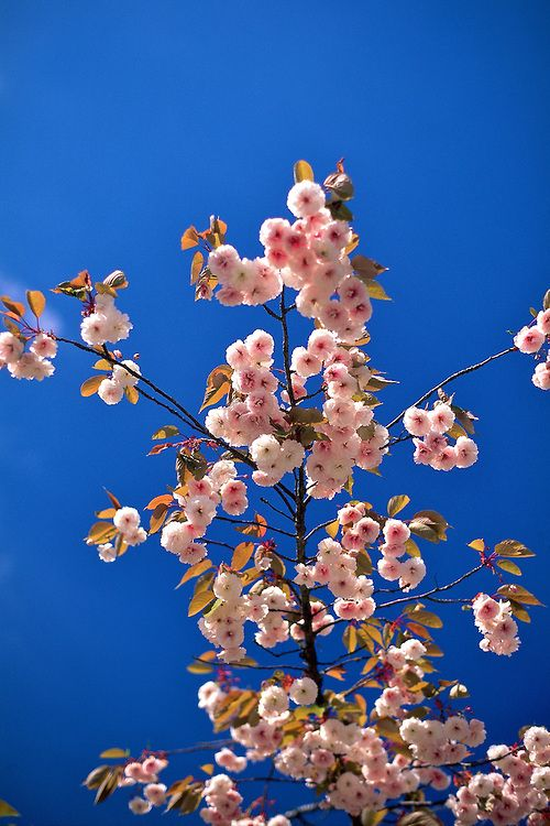Pink Blossoms Of Prunus Hokusai Reaching Upward Patrick O Leary Fruit Trees Pink Blossom Pink Garden