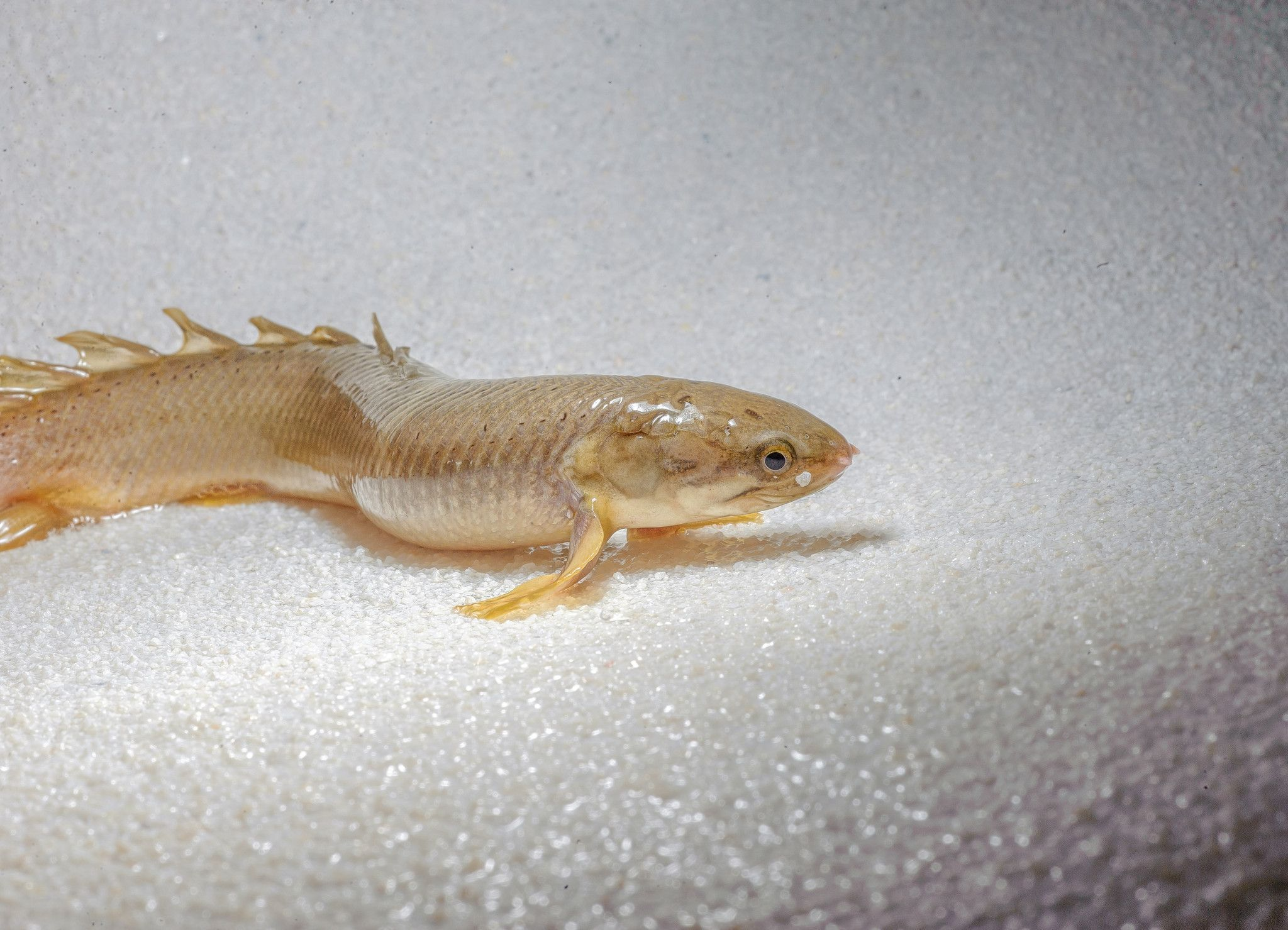 Video A 'leg up' in evolution? Watch this fish walk on