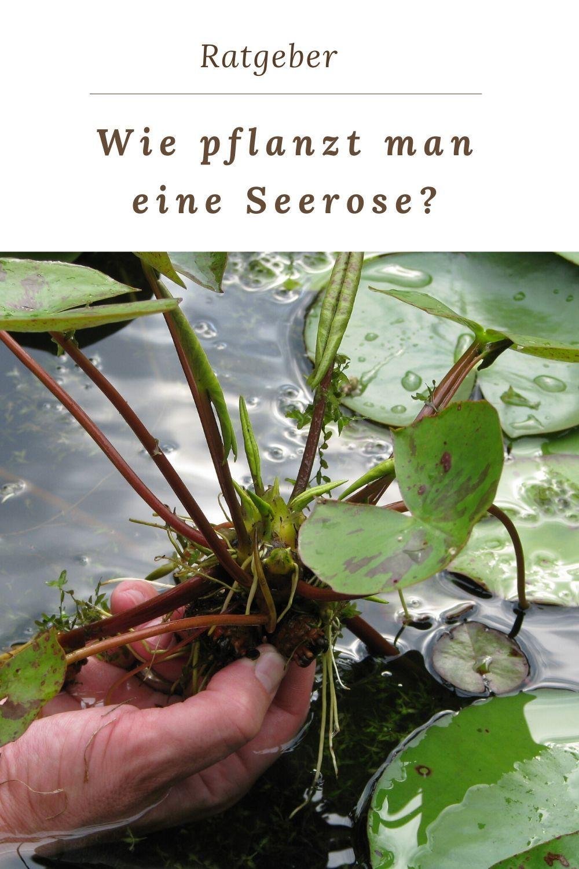 Wie pflanzt man eine Seerose?