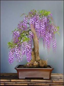 B-African-wisteria semintele mele