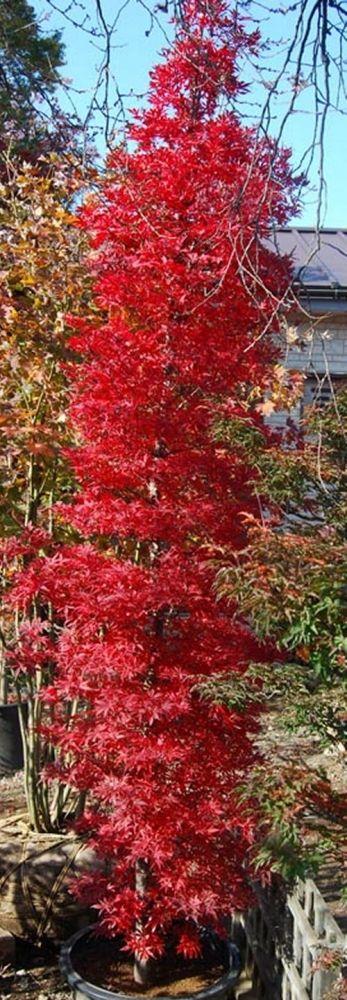 Acer Palmatum Tsukasa Silhouette Shed Side Garden Ideas
