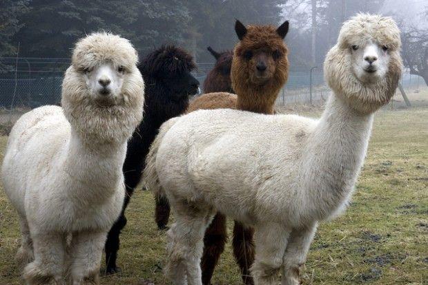 The Weekender May 8 10 Alpaca Facts Animals Alpaca Stuffed Animal