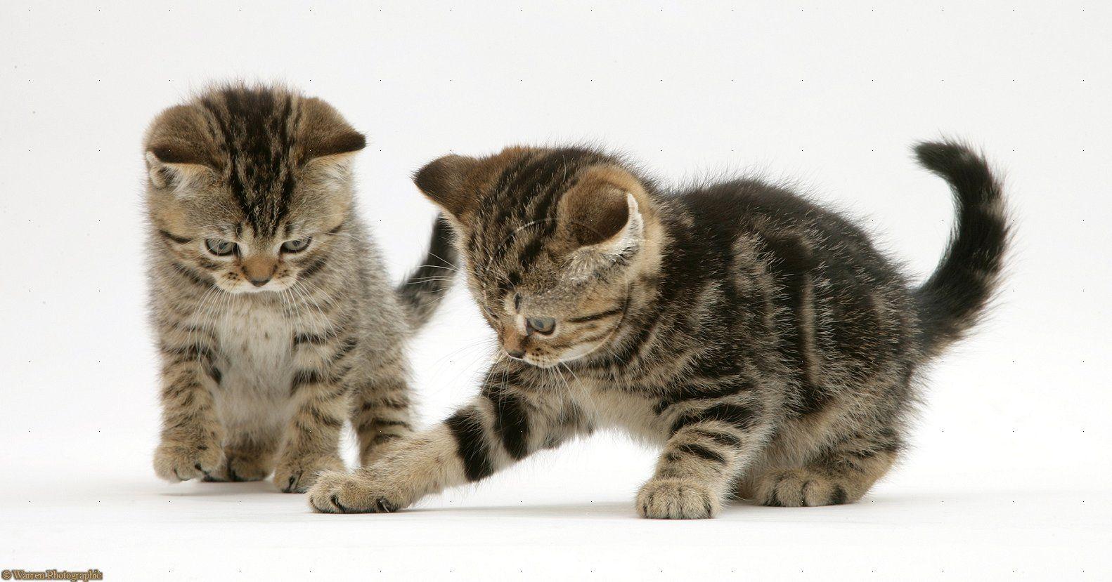 British Shorthair Brown Tabby Kittens Tabby Kitten British Shorthair Cats Tabby Cat