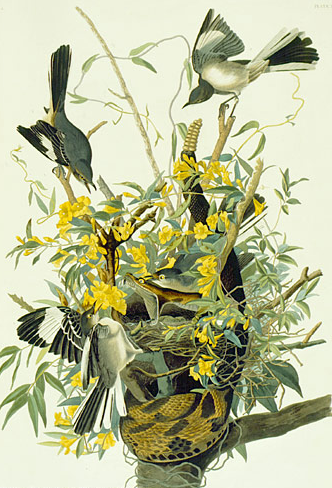 By John James Audubon (1785-1851), Northern Mockingbird (Mimus polyglottos, Moqueur polyglotte), The Birds of America.