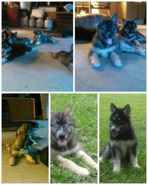 Gerberian Shepsky Mix Puppy For Sale In Summerville Sc Adn 41440