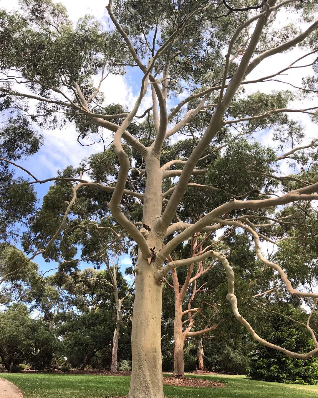 Tree Enthusiast On Instagram Corymbia Citriodora Lemon Scented Gum Tree Cool Plants Eucalyptus Tree