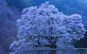 сакура, природа, водоём, япония