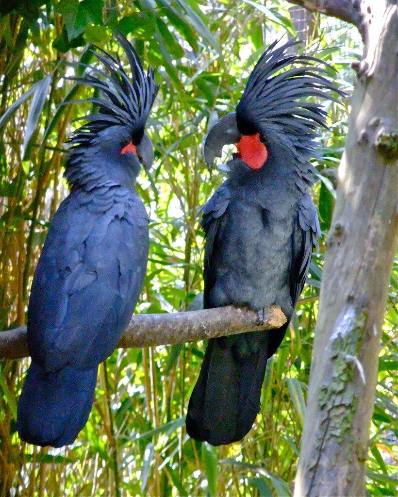 Black Palm Cockatoo Bite Black palm cockatoo black palm   Aminals
