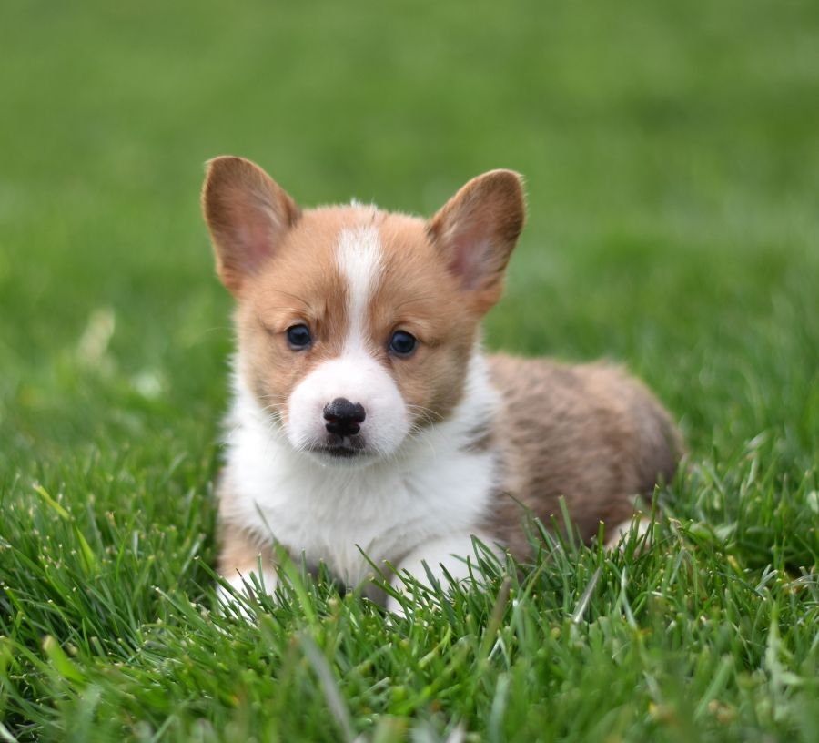 Pin On Welsh Corgi Puppies