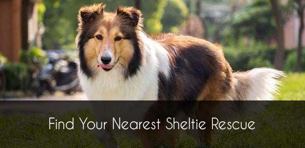 Sheltie Rescue Sheltie Puppies for Adoption Sheltie