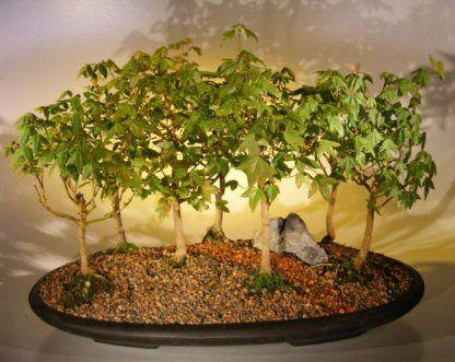 5 Quercus Palustris Bonsai Seeds Pin Oak Buy Bonsai Tree Seeds In South Africa Bidorbuy Co Za Bonsai Tree Buy Bonsai Buy Bonsai Tree