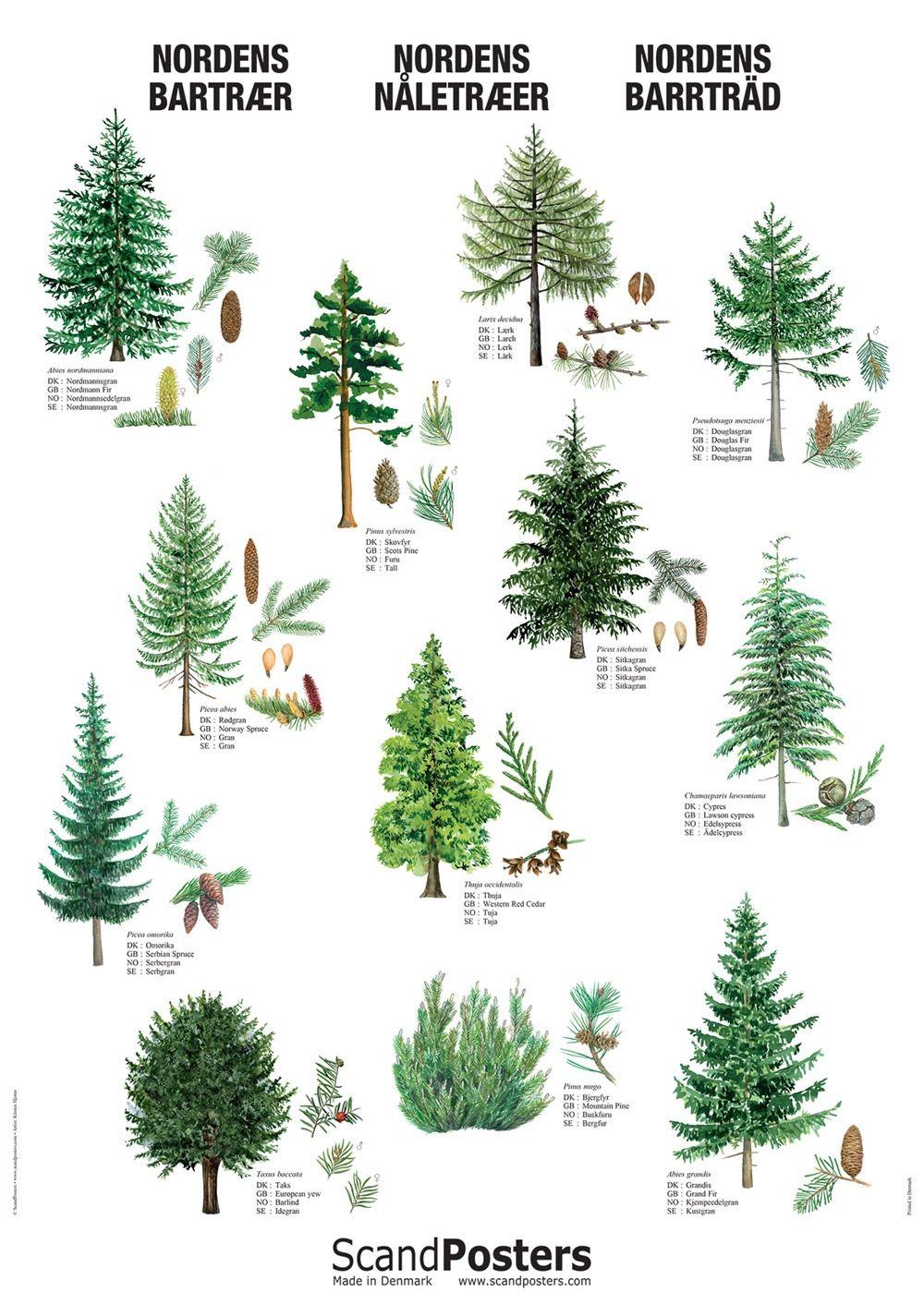 Coniferous Tree Poster Conifer Trees Tree Drawing Tree Identification