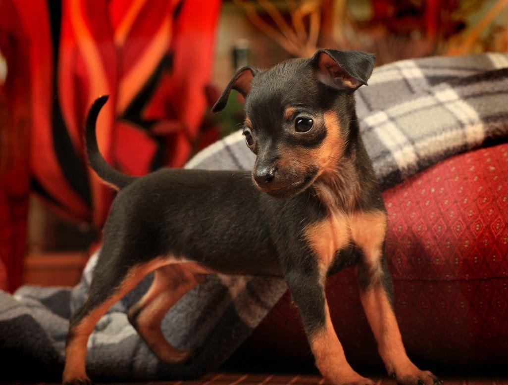 min pin pup Miniature pinscher, Min pin puppies