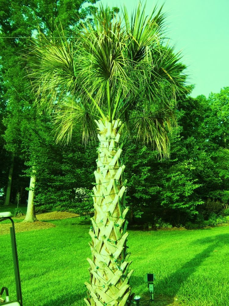 SABAL PALMETTO Cabbage Palm Seedling Plant From Zone 7 Surviver Tree ...