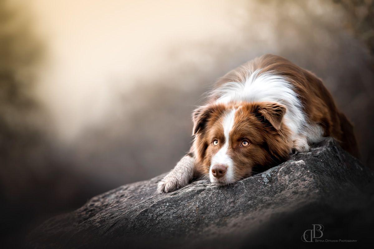 Hundefotografie - Dog Photography Shepherd Schäferhund #dogsphotography