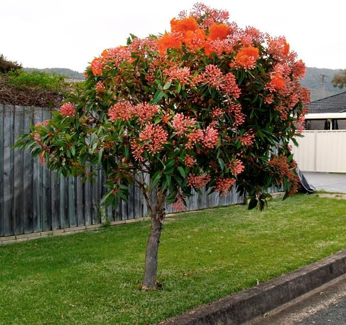 5 fast growing shade trees australia landscape plants - How to plant a flower garden for dummies ...