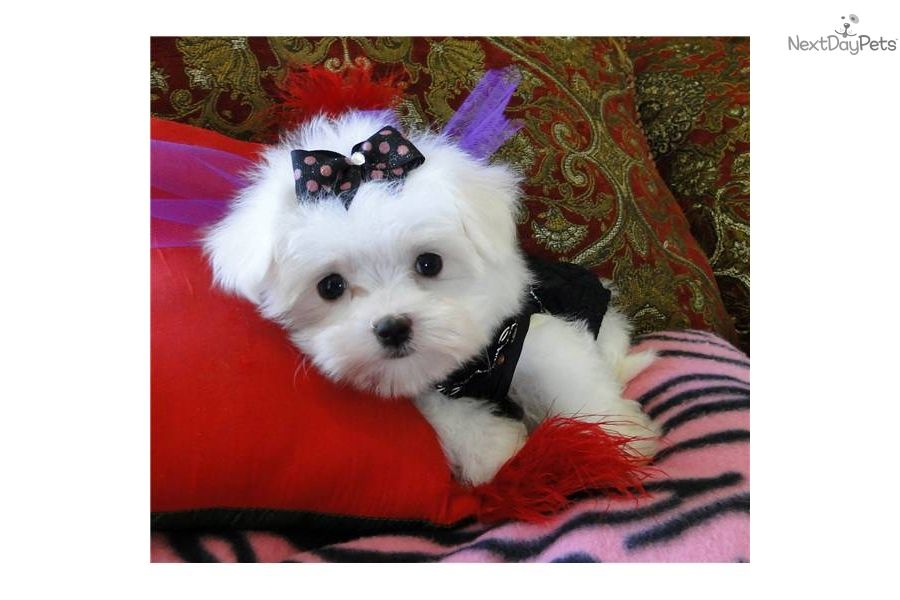 Maltese Puppy For Sale Near Dallas Fort Worth Texas A54c9857