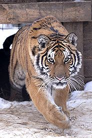 Kamen, male Siberian Tiger. Kamen lives at the Bear Creek Exotic Wildlife Sanctuary in Barrie, Ontario, Canada.