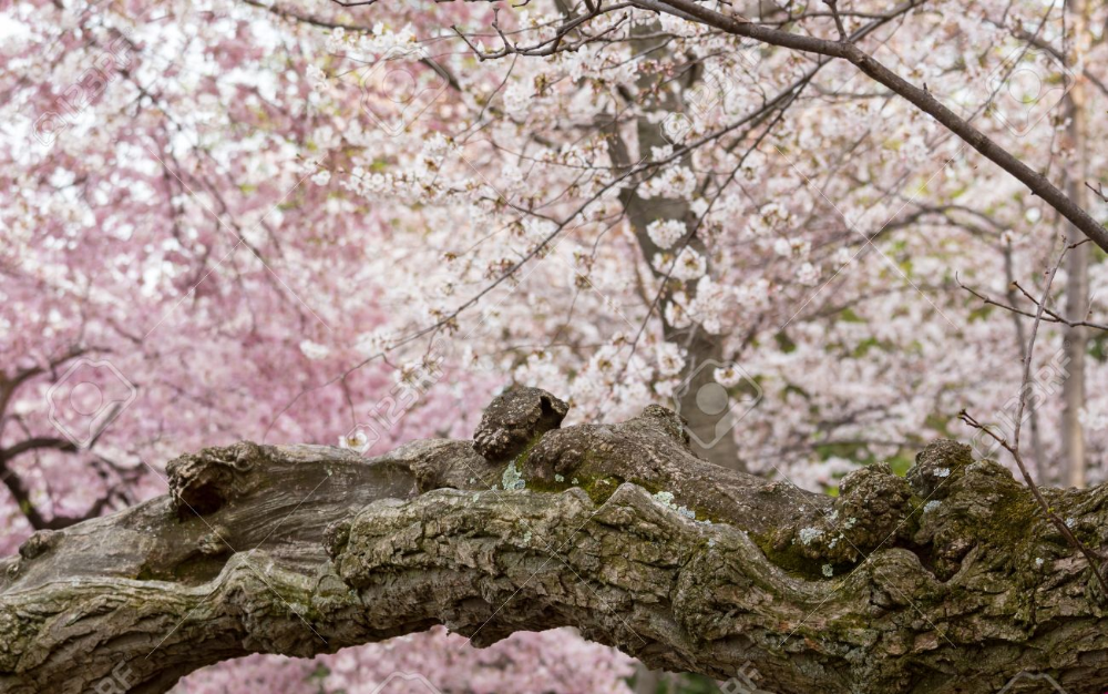 Cherry Blossom Tree Bark Google Search Cherry Blossom Flowers Japanese Cherry Blossom Cherry Blossom
