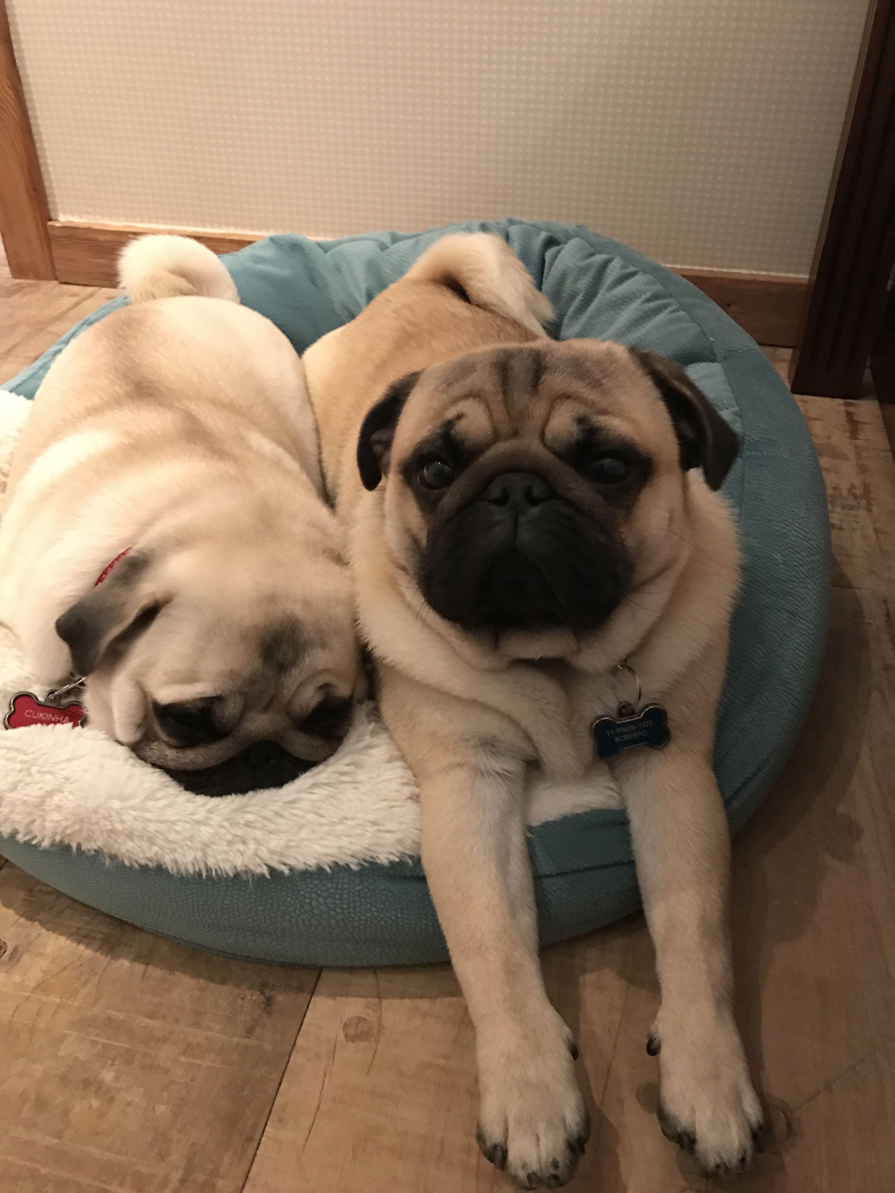 Snuggle Pugs Cute Pug Puppies Pugs Funny Cute Pugs
