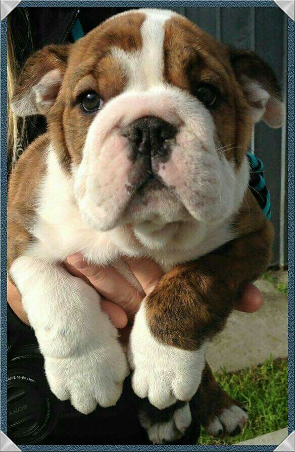 Bulldog Pic Of The Day English Bulldog Puppies Cute Animals