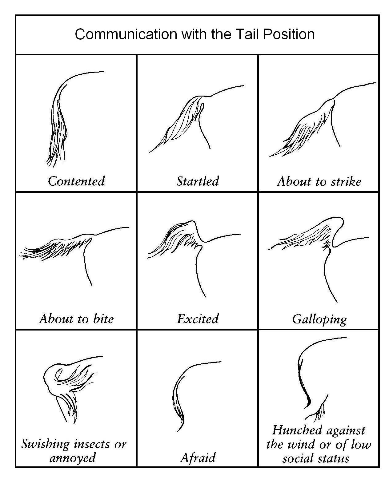 Posiciones de la cola - ¿¿Que nos dice nuestro caballo?? | Anatomía ...