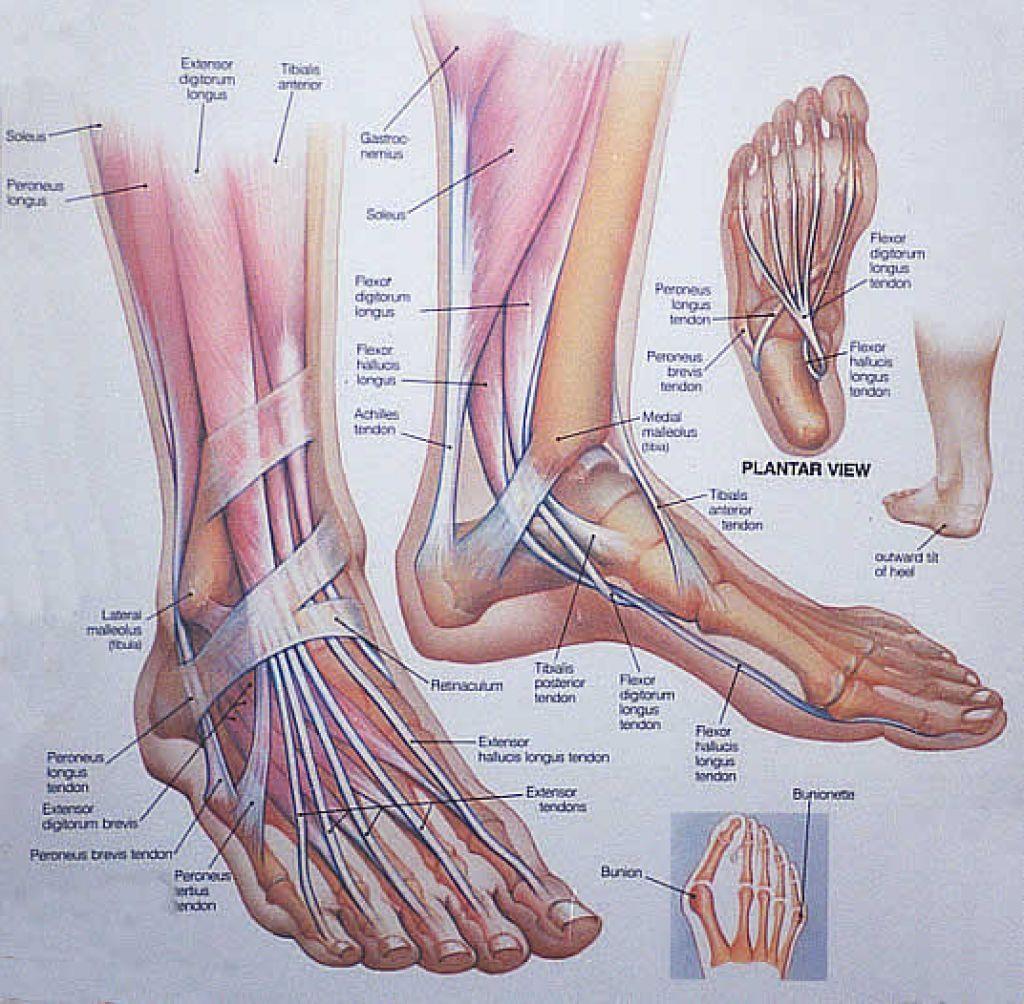 anatomy feet: 21 тыс изображений найдено в Яндекс.Картинках ...