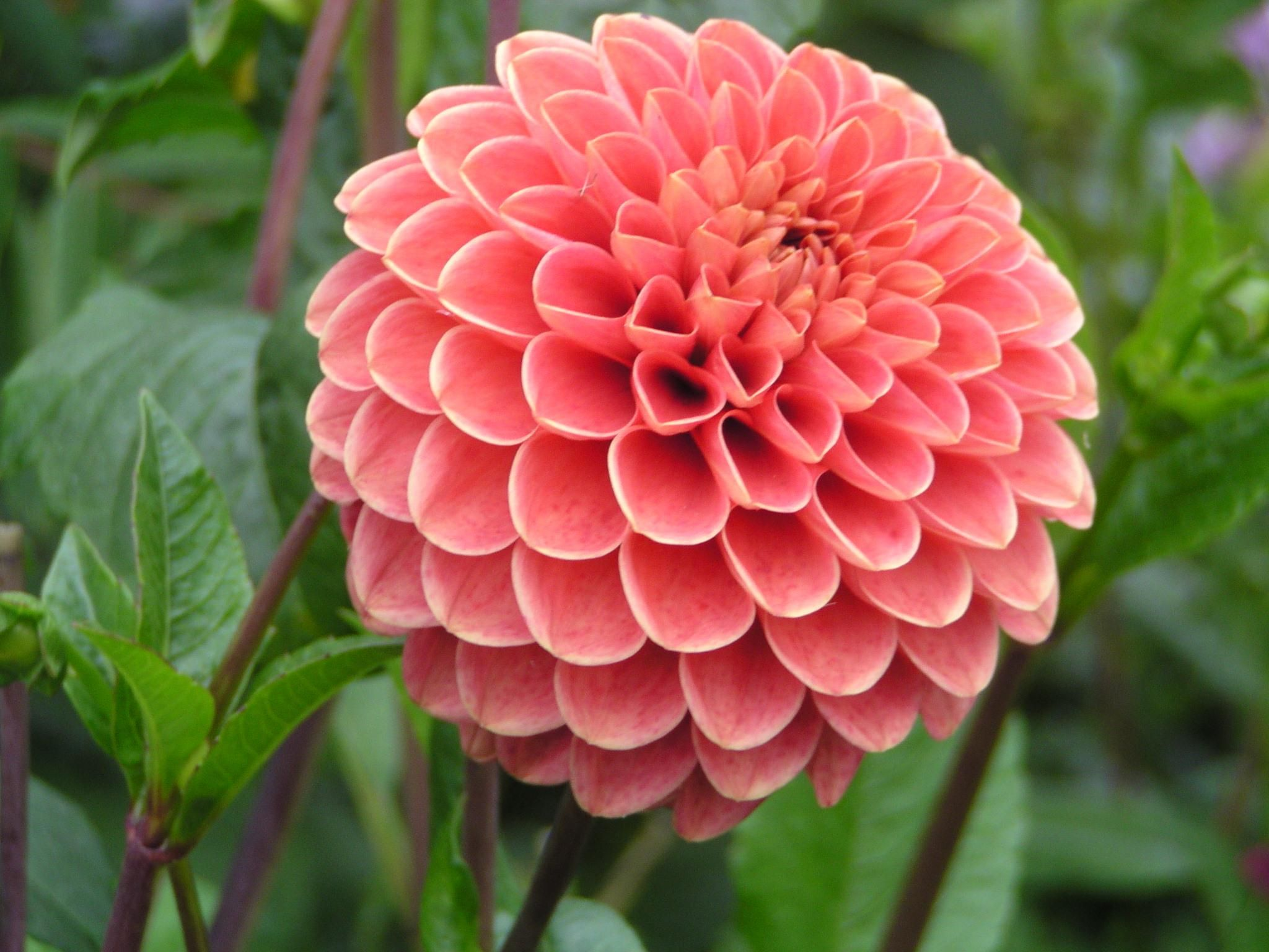 Jomanda ball dahlia fleurs pinterest flowers dahlia and dahlia dahlia flower cant be missed if we are counting most beautiful flowers in izmirmasajfo