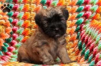 Soft Coated Wheaten Terrier Puppy For Sale Wheaten Terrier Puppy