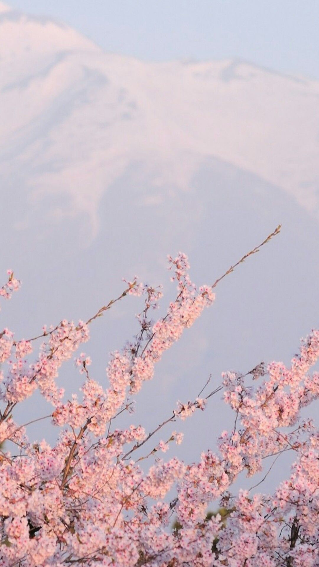 sakura wallpaper Tumblr Aesthetic backgrounds, Pastel