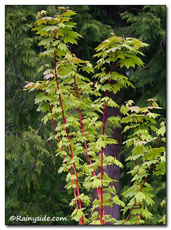 Acer Circinatum Pacific Fire Red Branches Leaves W Hints Of