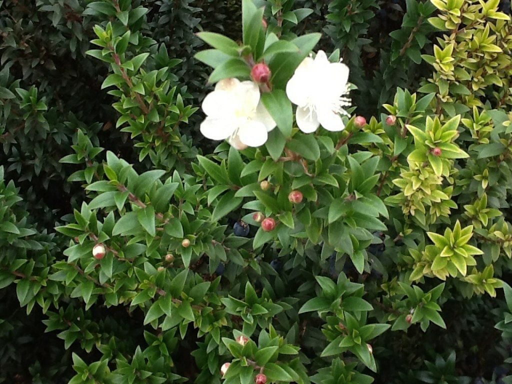 planta mirto